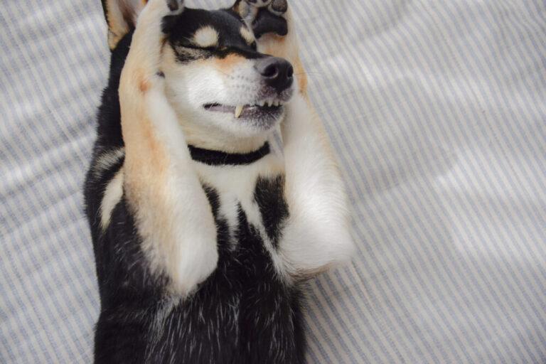 pixta_47281917_M やっちまった柴犬