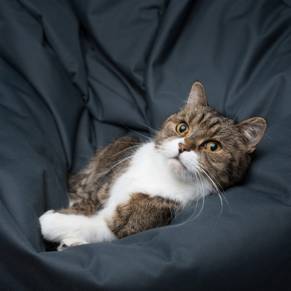 tabby british shorthair cat relaxing on a cozy bean bag looking at light source 猫クッション