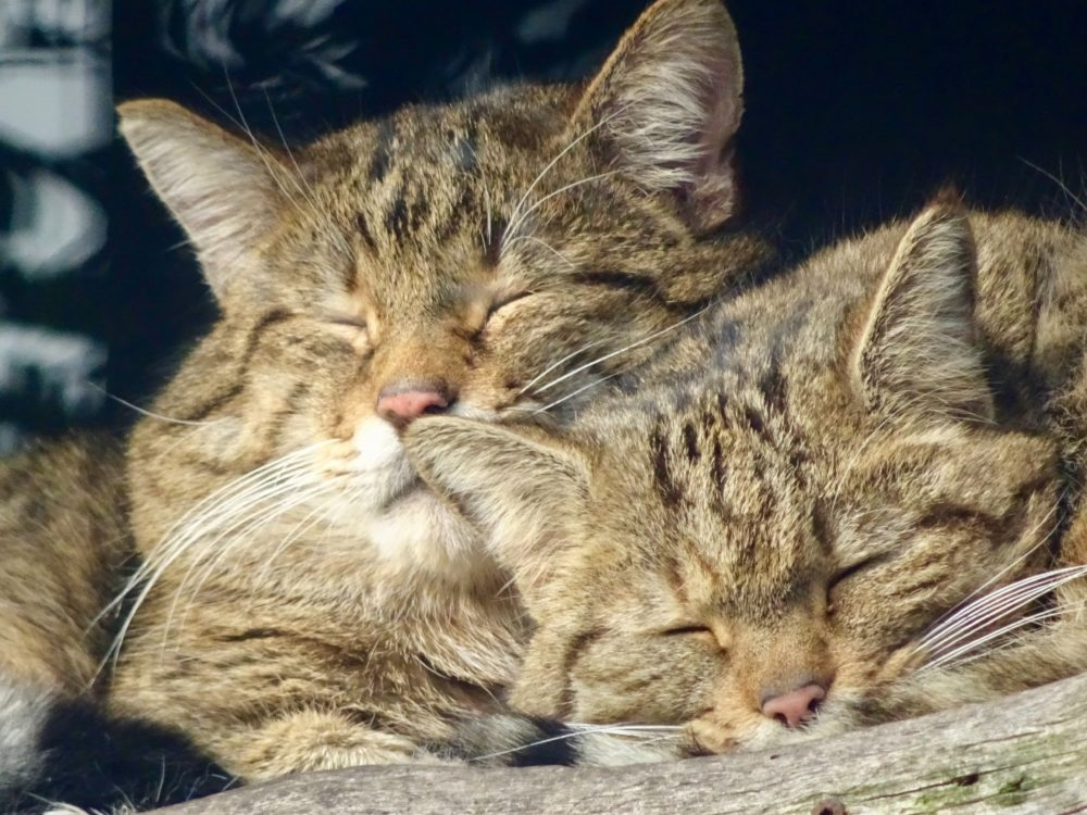 寄り添って寝る2匹の猫の画像
