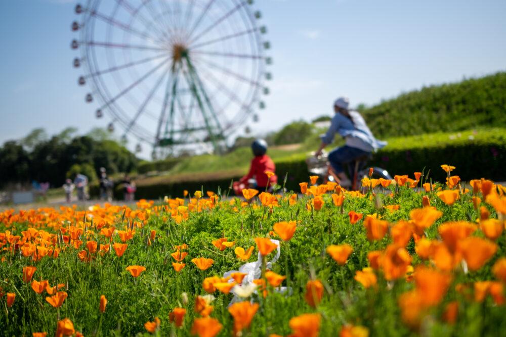 pixta_70079097_M 国営ひたち海浜公園のオレンジの花と観覧車