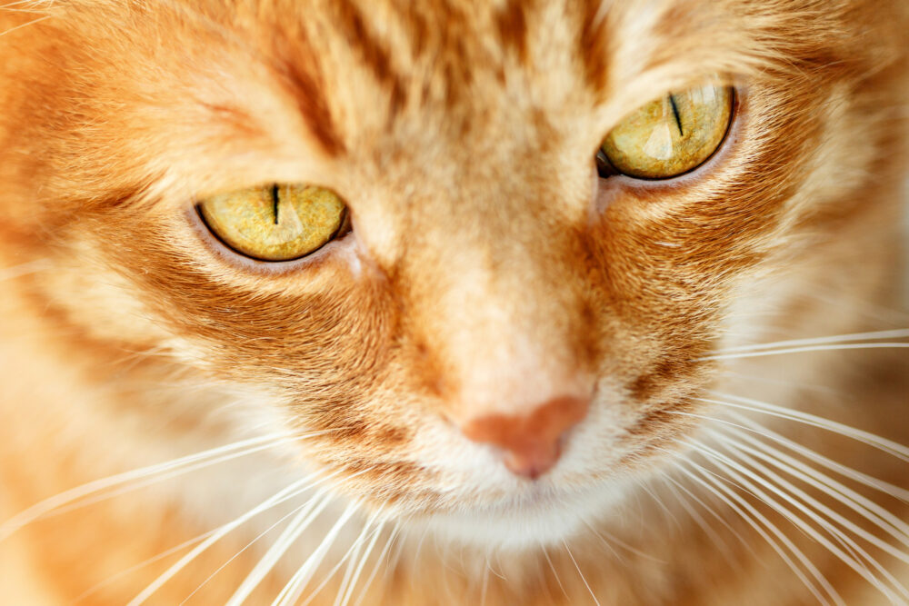 Funny ginger cat`s face close-up, selective focus on yellow eyes, pet background
