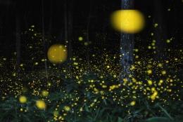 東京で蛍(ホタル)が見られるのは5月から。 2016年の鑑賞スポット&時期まとめ